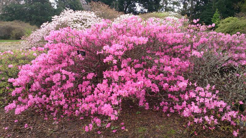 Nhiều loài đỗ quyên được trồng làm cây cảnh. Một số loài có tác dụng chữa bệnh.