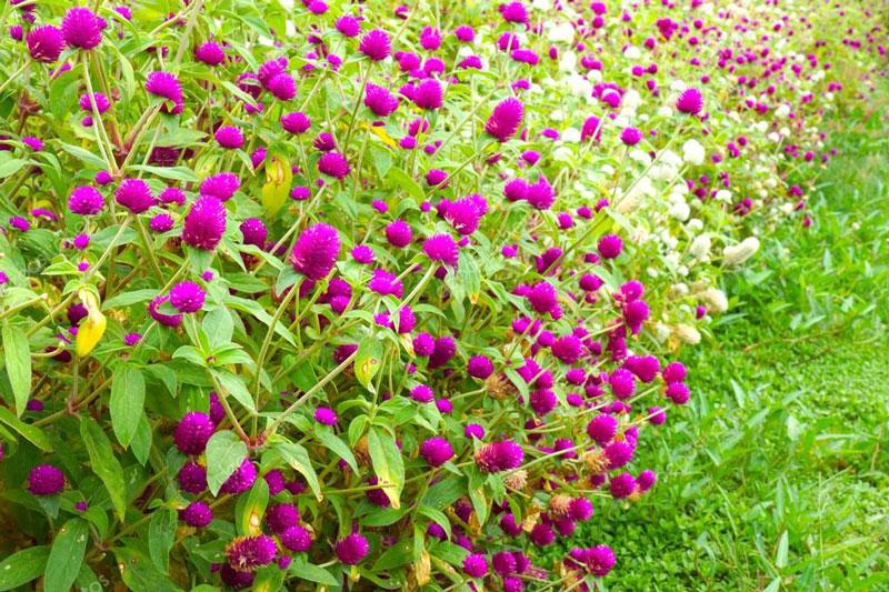 Loài hoa này còn được trồng trị sỏi niệu, sỏi thận, thanh nhiệt…
