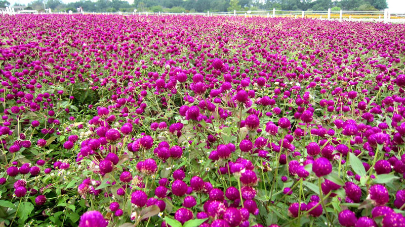 Ở Việt Nam, hoa bách nhật được trồng ở nhiều vùng miền. Chúng được trồng chủ yếu để làm cảnh, trang trí nhà cửa.