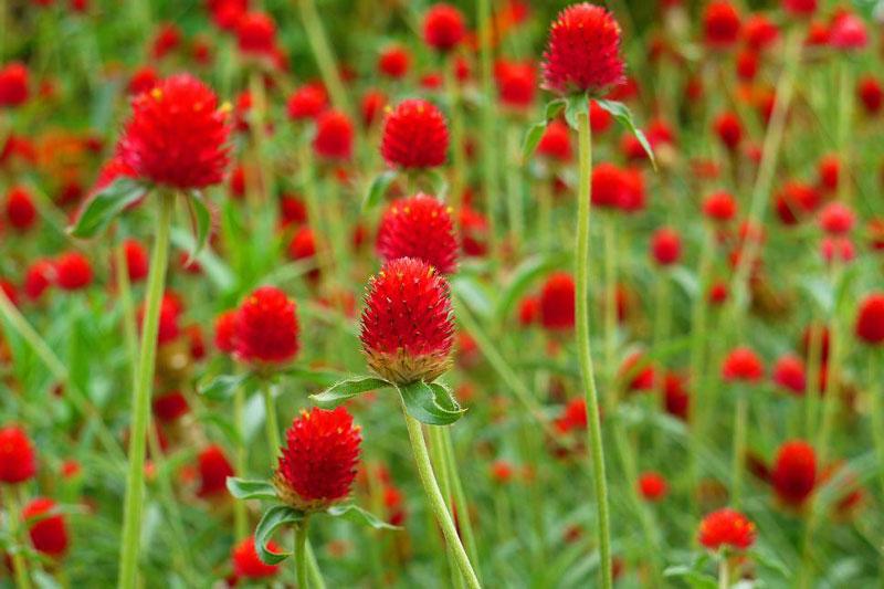 Chúng là loài thân thảo nhiều năm, cao đến 40 - 60cm.