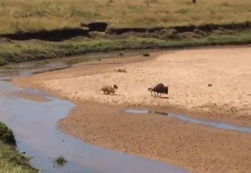 Sư tử đuổi giết linh dương đầu bò.