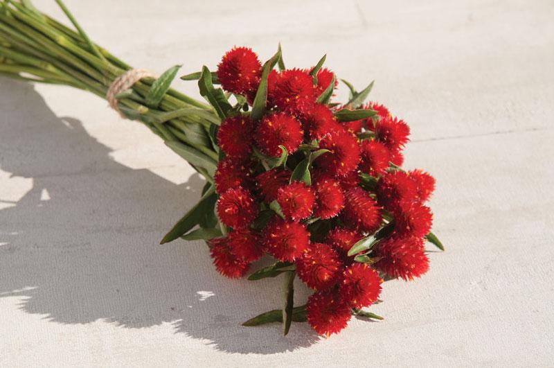 Cúc bách nhật thường nở vào mùa Hè và mùa Thu. Tuy nhiên, ở một số nơi cây thường nở hoa quanh năm.