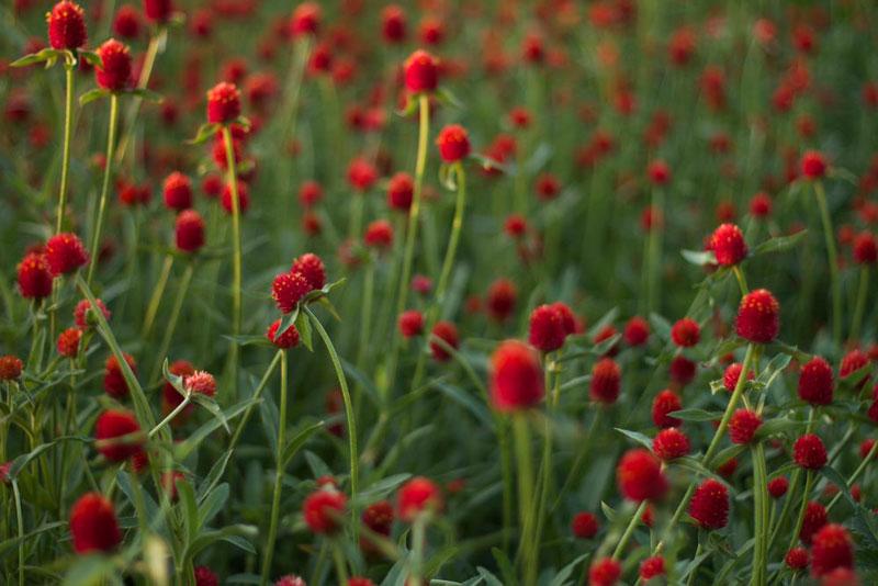 Ở Nepal, hoa được sử dụng để tạo ra một chiếc vòng hoa cho ngày của cha.