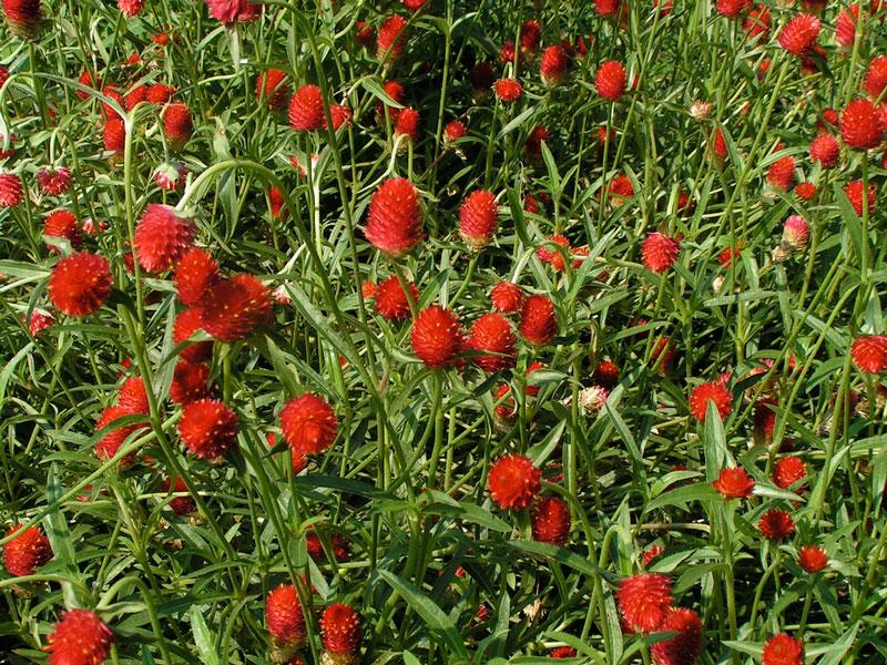 Hoa nở này có tên khoa học là Gomphrena globosa.