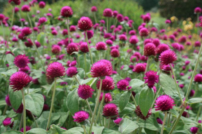 Hoa bách nhật là loài thực vật có hoa thuộc họ Dền.