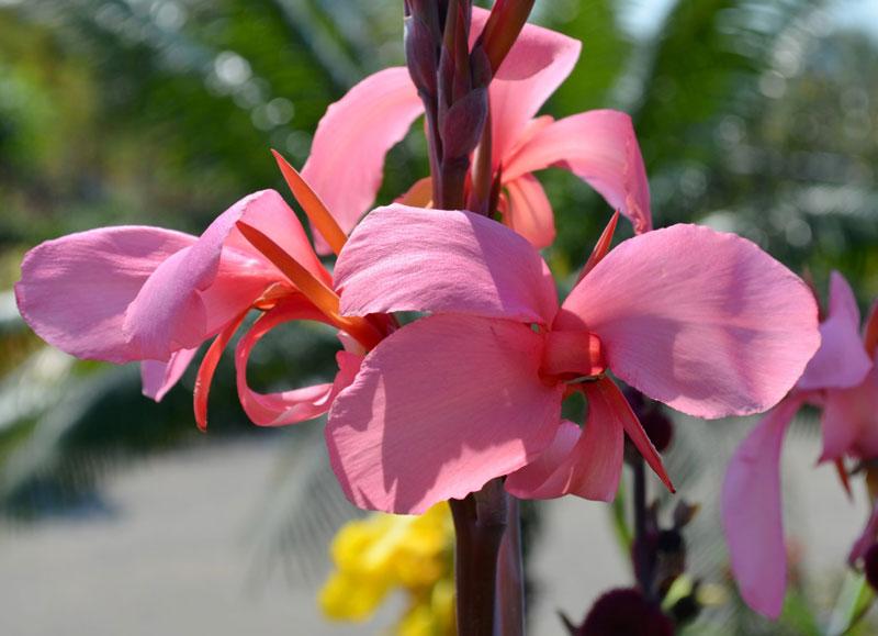 Hạt của hoa dong riềng được sử dụng làm đồ trang sức, thuốc nhuộm…