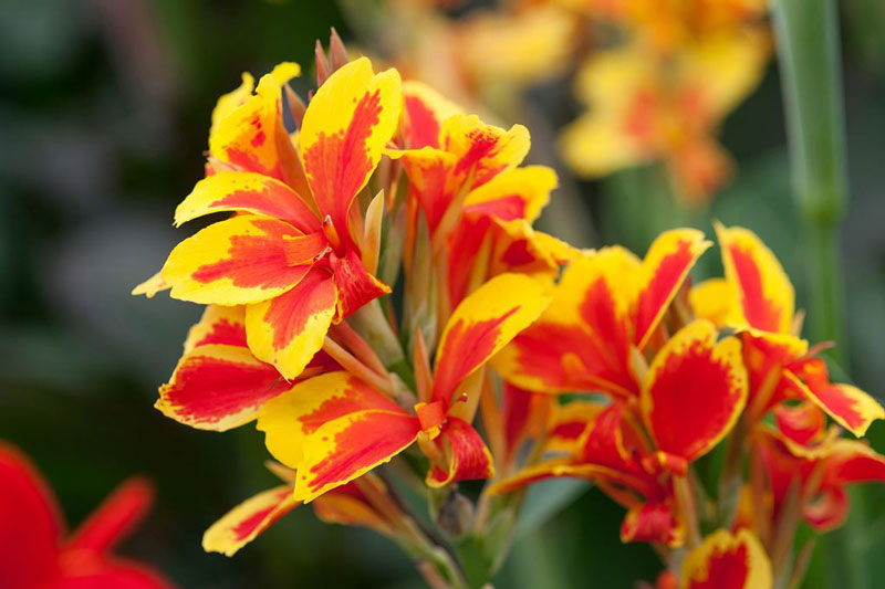Tuy nhiên, loại hoa này rất ít khi nở hoa.