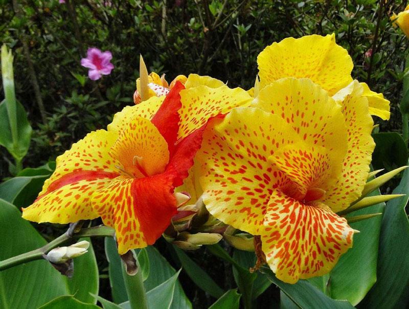 Cận cảnh vẻ đẹp của hoa dong riềng.