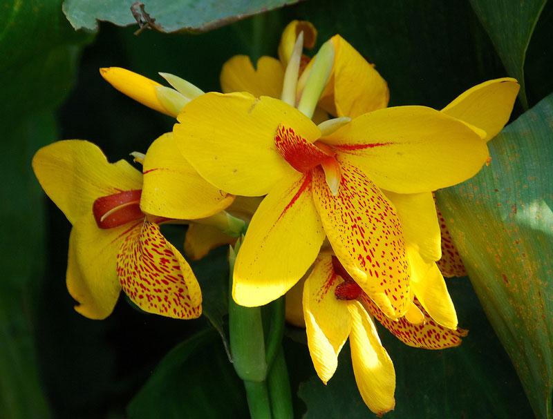 Chi này gồm khoảng 19 loài cây thân thảo ra hoa.