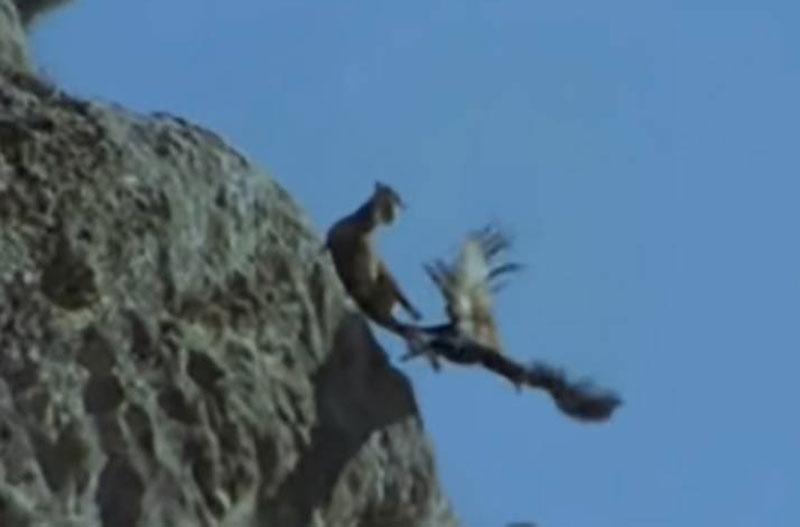 Đại bàng săn dê núi.