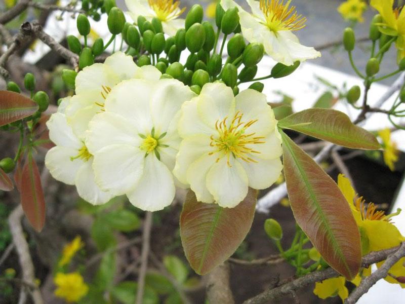 Nó được trồng chủ yếu ở vùng núi Bà Đen (Tây Ninh,) Bến Tre, Hà Tiên (Kiên Giang).