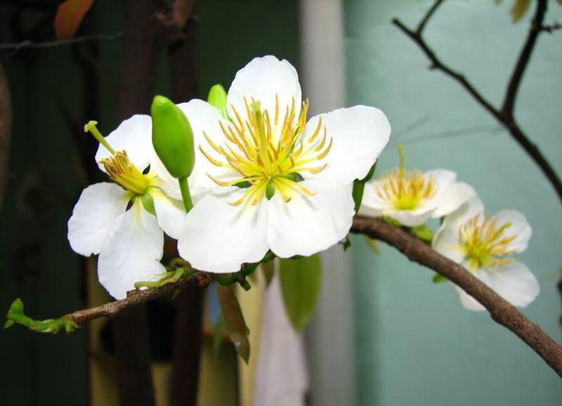 Tuy đẹp nhưng mai trắng ít được chưng ngày tết vì ý nghĩa phong thủy.