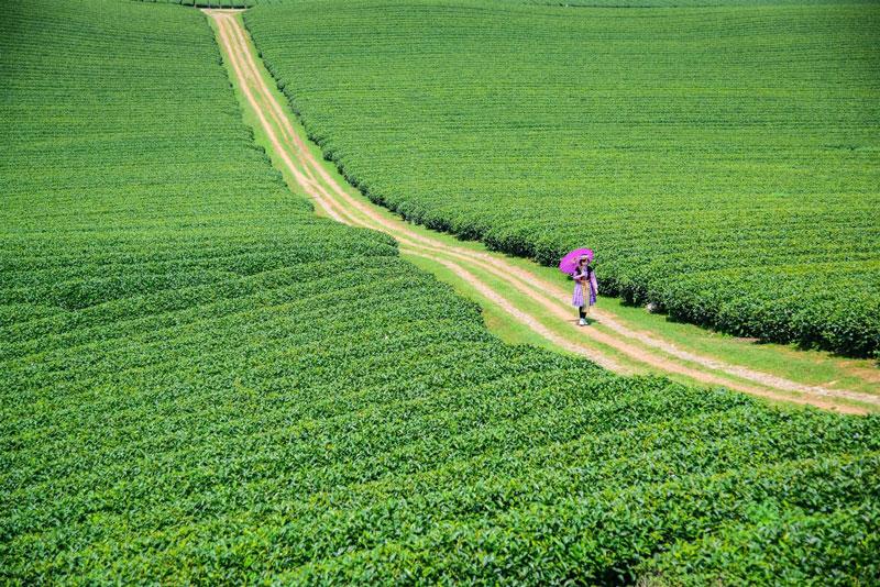 Đồi chè Trái Tim tọa lạc ở nông trường Mộc Châu, huyện Mộc Châu, tỉnh Sơn La, Việt Nam. Ảnh: Tripnow.