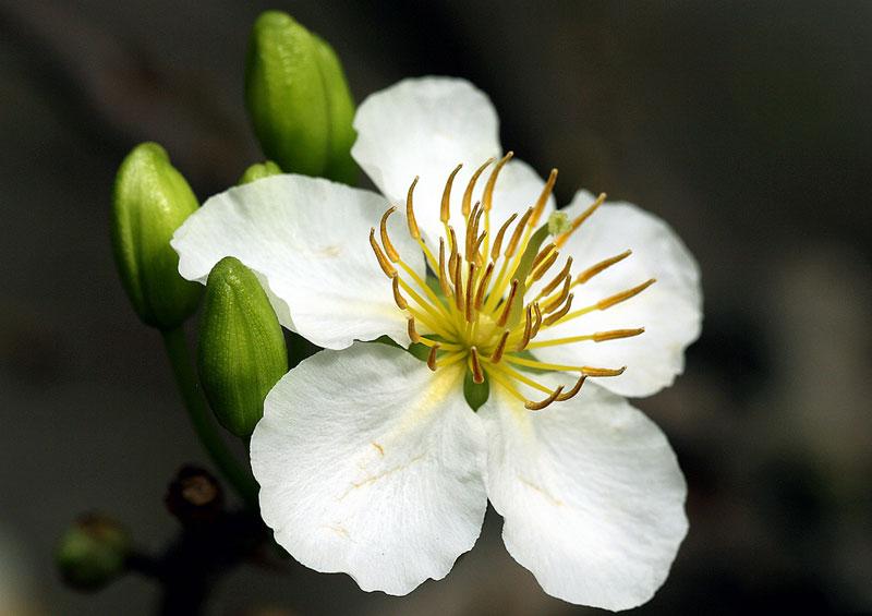 Cận cảnh vẻ đẹp của hoa mai trắng.