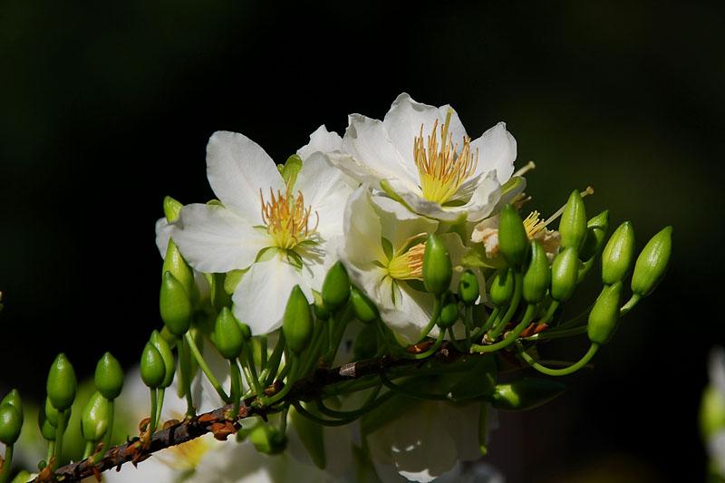 Loài hoa này cũng rất đắt giá vì độ quý, hiếm.