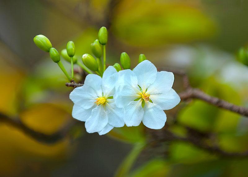 Cánh hoa mai trắng thường nhỏ, có mùi thơm nhẹ.