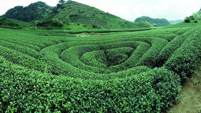 Đồi chè trái tim chỉ cách trung tâm nông trường Mộc Châu khoảng 10 km. Ảnh: Thanh Việt Tiêu.