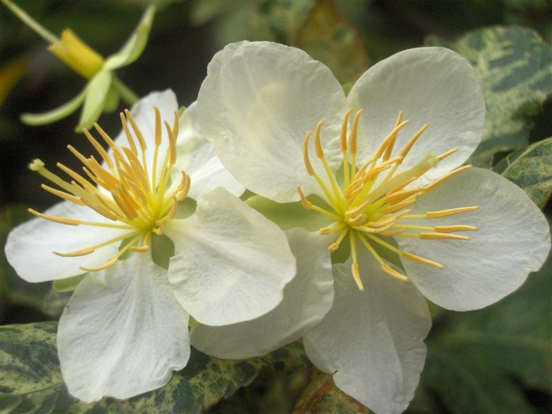 Nếu trồng bằng cây ghép có thể lên 6 - 8 cánh.