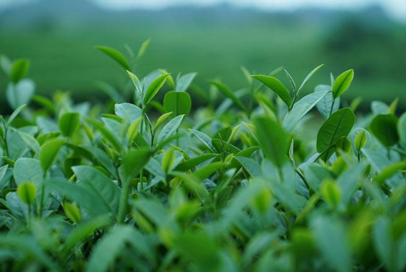 Tới đây, bạn sẽ được chiêm ngưỡng trọn vẹn toàn bộ đồi chè xanh mướt cùng những trái tim tuyệt đẹp. Ảnh: Senhong.
