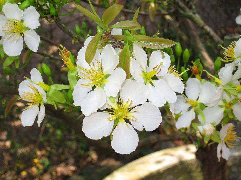 Hiện nay, hoa mai trắng không được trồng phổ biến ở Việt Nam.
