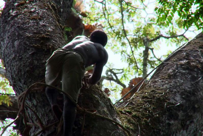Ông Tete leo lên cây để lấy mật ong.