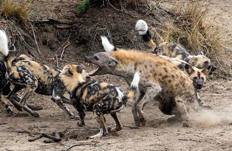 Linh cẩu giữa vòng vây của bầy chó hoang.
