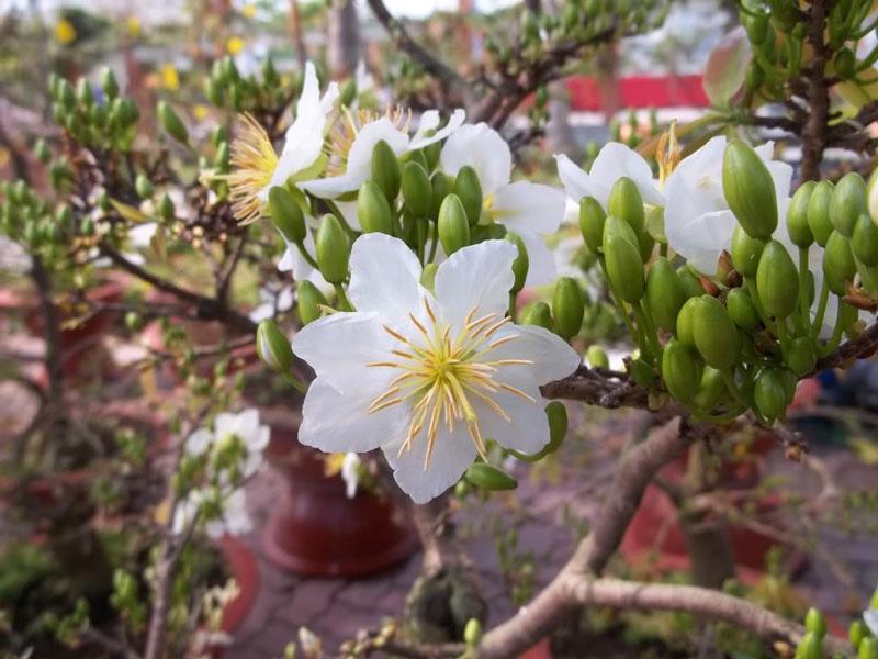 Loài hoa này tượng trưng cho sự tinh khiết.