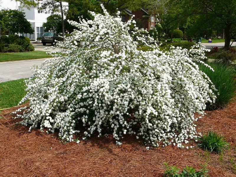 Đây là phân họ của thực vật có hoa thuộc họ Hoa hồng (Rosaceae).