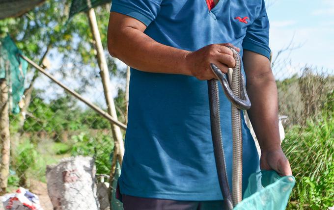Rắn cũng chủ yếu lấy từ miền Tây hoặc do người dân bắt ở những cánh đồng tại Củ Chi. Trong đó, vừa có cả rắn nuôi và săn bắt trong tự nhiên.