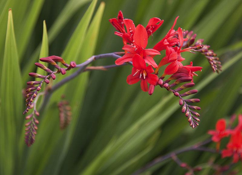 Hoa nghệ hương có tên khoa học là Crocosmia. Đây là chi thực vật có hoa trong mống mắt Gia đình, Iridaceae.
