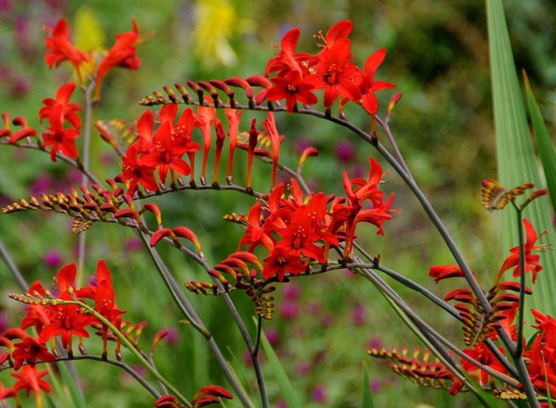 Cây nghệ hương sinh trưởng vào mùa Đông, nở hoa vào mùa Xuân, ngủ nghỉ mùa Hè.