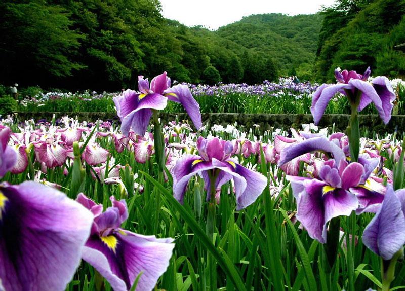 Hoa diên vĩ có tên khoa học là Iris. Nó là họ thực vật nằm trong họ diên vĩ (Iridaceae).