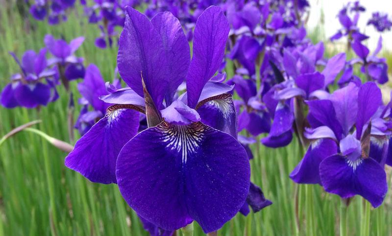 Ở Nhật, hoa Diên Vĩ tượng trưng cho chí khí anh hùng và dòng dõi quý phái. Hoa Diên Vĩ là một phần quan trọng trong lễ hội mùa Xuân dành cho các bé trai.