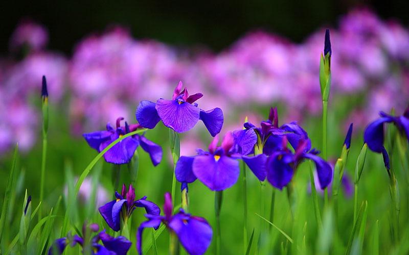 Hoa iris là tên được đặt theo vị nữ thần Hy Lạp - Iris.
