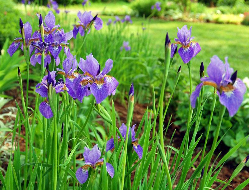Iris cũng là biểu tượng của nước Pháp từ thế kỷ 13. Hoàng gia Pháp trang trí hoa Diên Vĩ trên áo choàng, các đồ vật trong cung điện và trên những bức tường như biểu hiện của sự toàn bích, ánh sáng và cuộc sống.