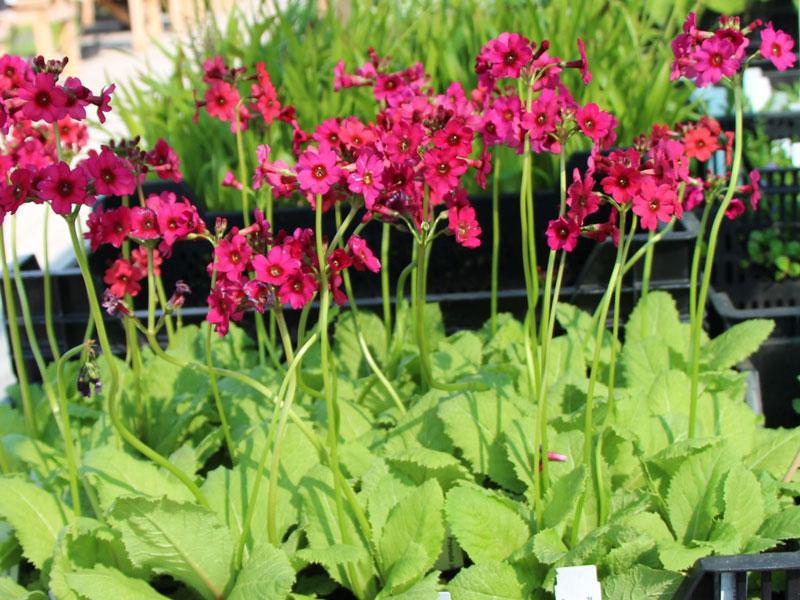 Hoa anh thảo Nhật Bản có tên khoa học là Primula japonica.