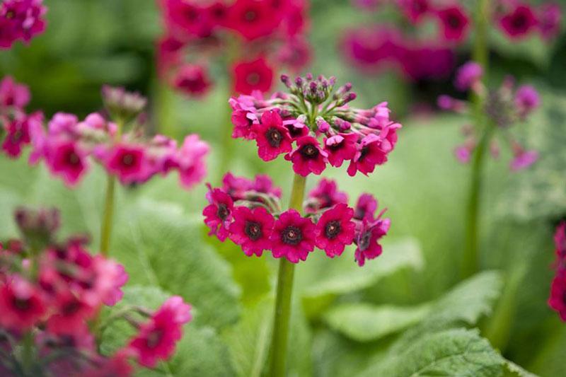 Vì khá dễ trồng nên hoa anh thảo Nhật Bản được trồng ở khá nhiều nơi trên thế giới, nhưng nhiều nhất vẫn là đất nước mặt trời mọc.