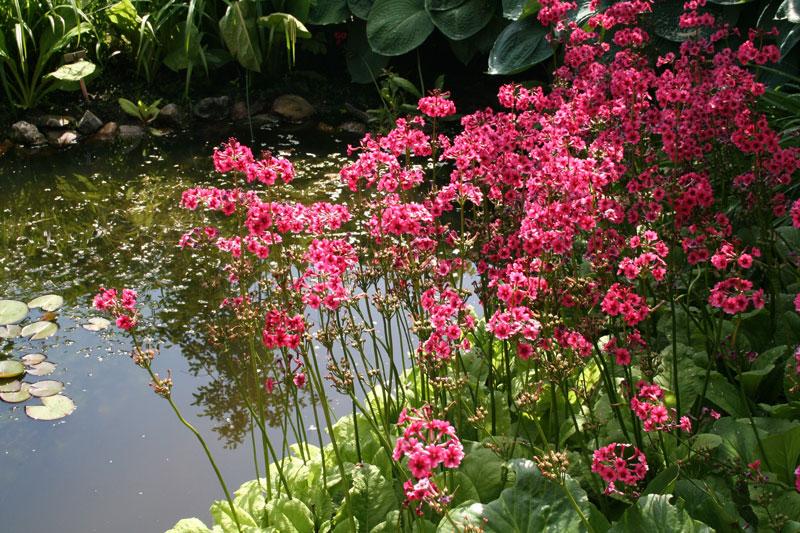Hoa anh thảo Nhật Bản màu hồng.