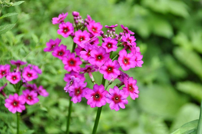 Cận cảnh vẻ đẹp của hoa anh thảo Nhật Bản.
