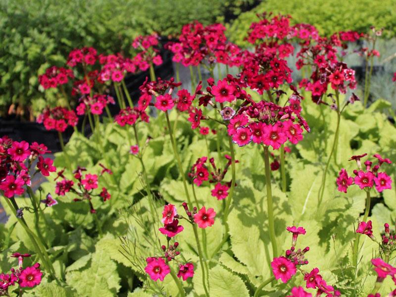 Đây là loại thực vật có hoa trong gia đình họ Anh thảo.