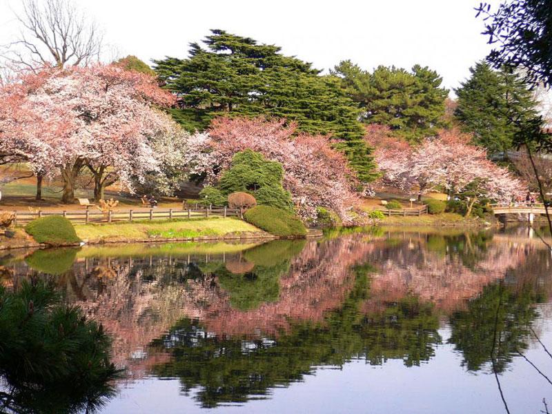 5. Công viên quốc gia Shinjuku Gyoen. Công viên rộng rộng 58,3 ha, nằm giữa quận Shibuya và Shinjuku, Tokyo. Ngày xưa trong thời đại Edo, nó là một vùng dinh thự của lãnh chúa Shinshu Takato và bắt đầu mở cửa từ năm 1906 như sân vườn Hoàng gia. Sau chiến tranh, nơi đây trở thành công viên quốc gia, mang phong cách sân vườn Anh Quốc với những bãi cỏ rộng lớn và cây hoa tulip cao chót vót, kết hợp với sân vườn Nhật Bản từ ngày xưa cùng với phong cách vườn phương Tây hiện đại.
