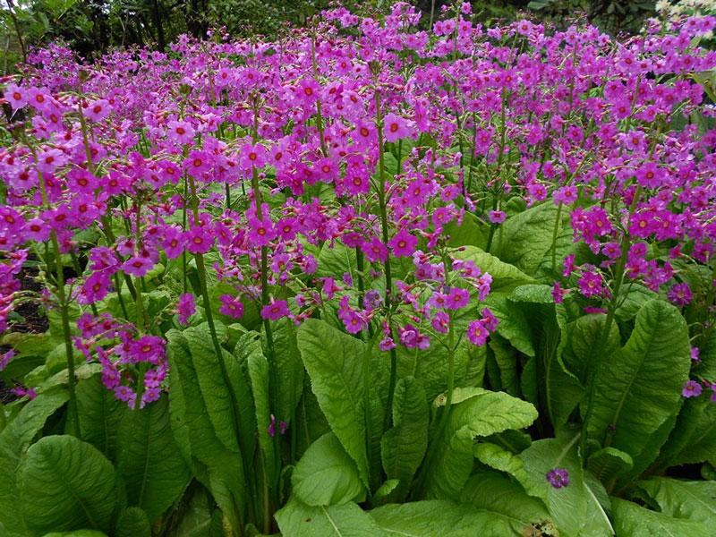 Màu sắc của hoa khá đa dạng từ trắng, hồng, tím đến đỏ.