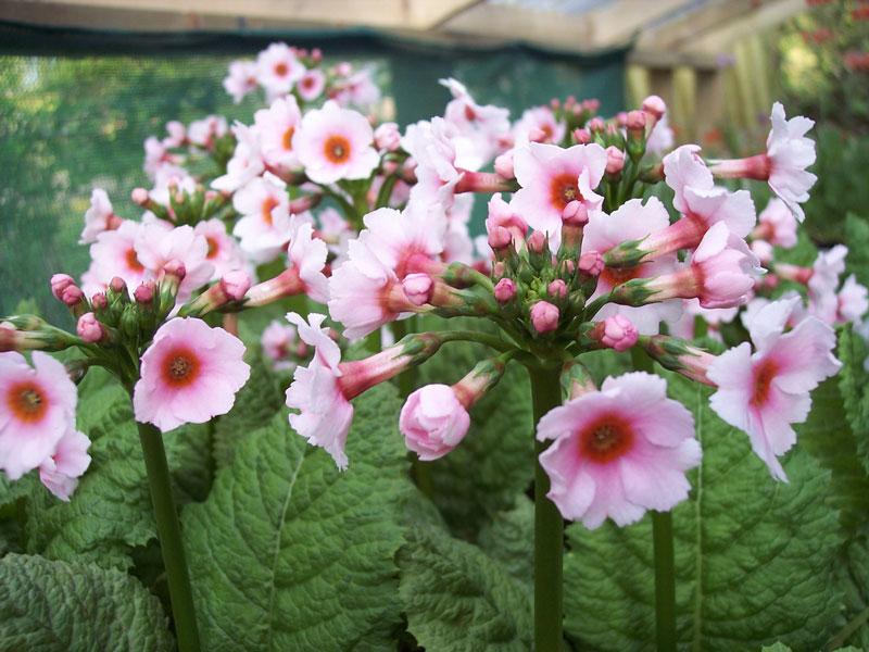 Hoa anh thảo Nhật Bản ưa phát triển ở môi trường ẩm ướt, râm mát.