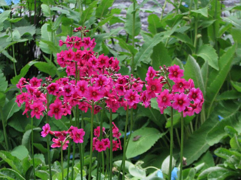 Hoa thường nở vào cuối mùa Xuân tới đầu mùa Hè.