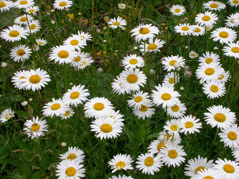 Cận cảnh vẻ đẹp của hoa cúc mắt bò.
