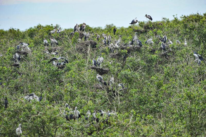 Rừng tràm (Melaleuca cajuputi) là thảm thực vật thân gỗ có diện tích lớn nhất, diện tích khoảng 2968 ha. Ảnh: Minh Đức.