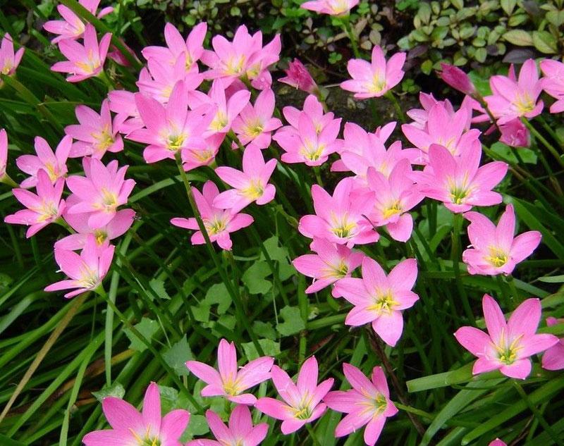 Tóc tiên hồng được trồng rộng rãi để làm cây cảnh và đã trở thành loài cây nhập tịch tại các vùng nhiệt đới trên khắp thế giới.