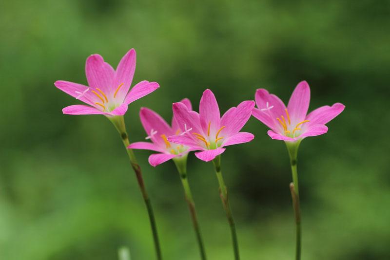Bao hoa có màu hồng tươi với một ống tràng bao hoa trung tâm màu xanh lá cây dài ít hơn 5 mm. Sáu nhị hoa có chiều dài khác nhau, một dài 11 mm, một dài 16 mm, và bốn nhị hoa còn lại dài từ 12 - 13 mm. Chúng ngắn hơn so với vòi nhụy và lồng vào miệng của bao hoa. Bao phấn dài 3 - 6 mm.