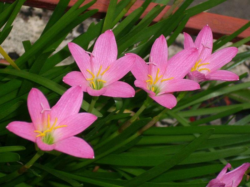 Hoa tóc tiên hồng có chứa các chất độc có khả năng gây chết người.