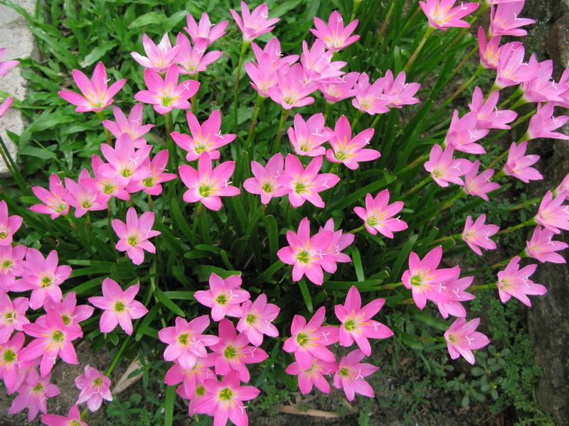 Hoa tóc tiên hồng là loài thân thảo lâu năm có một lá mầm. Chúng là loài thực vật nhỏ, chỉ đạt chiều cao 15 - 20cm. Chúng có từ năm đến sáu chiếc lá dài thẳng hẹp và dẹt, rộng khoảng 3 - 4 mm, thân hành có vỏ với đường kính khoảng 1,5 - 2,5 cm.